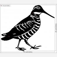 Décors oiseau - La Bécasse noire